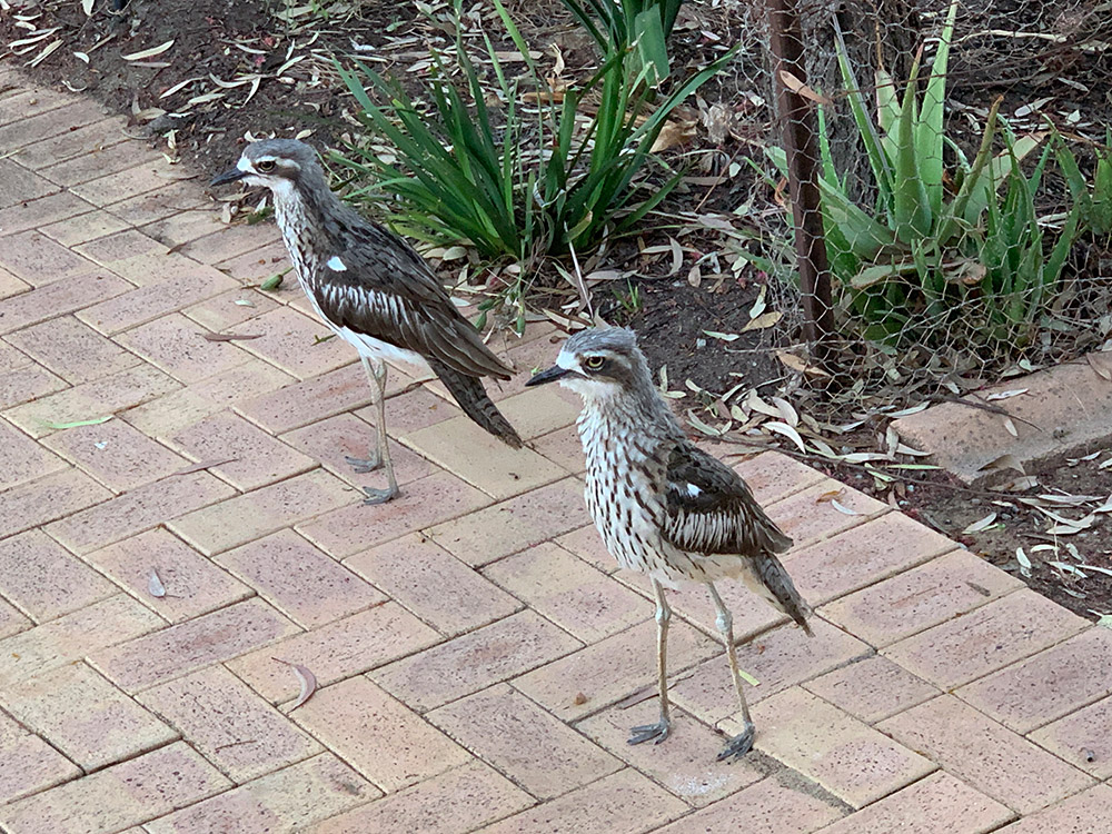 Bush-Stone-curlews
